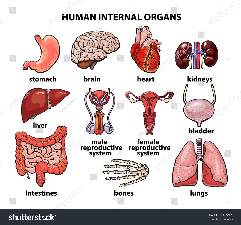 Human Organs Internal Organs Set Human Anatomy Internal