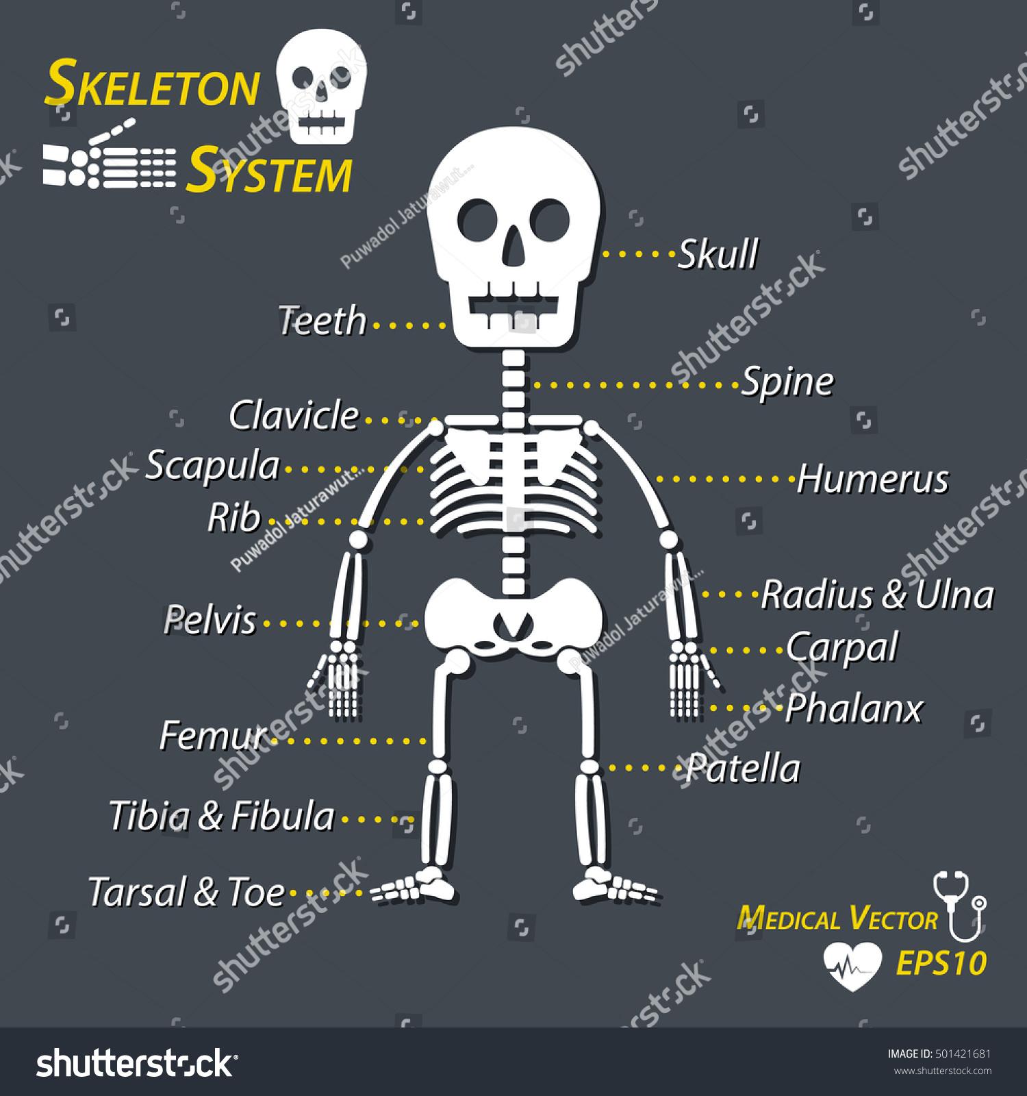 Human Skeleton And All Name Of Bone Stock Vector Illustration Shutterstock