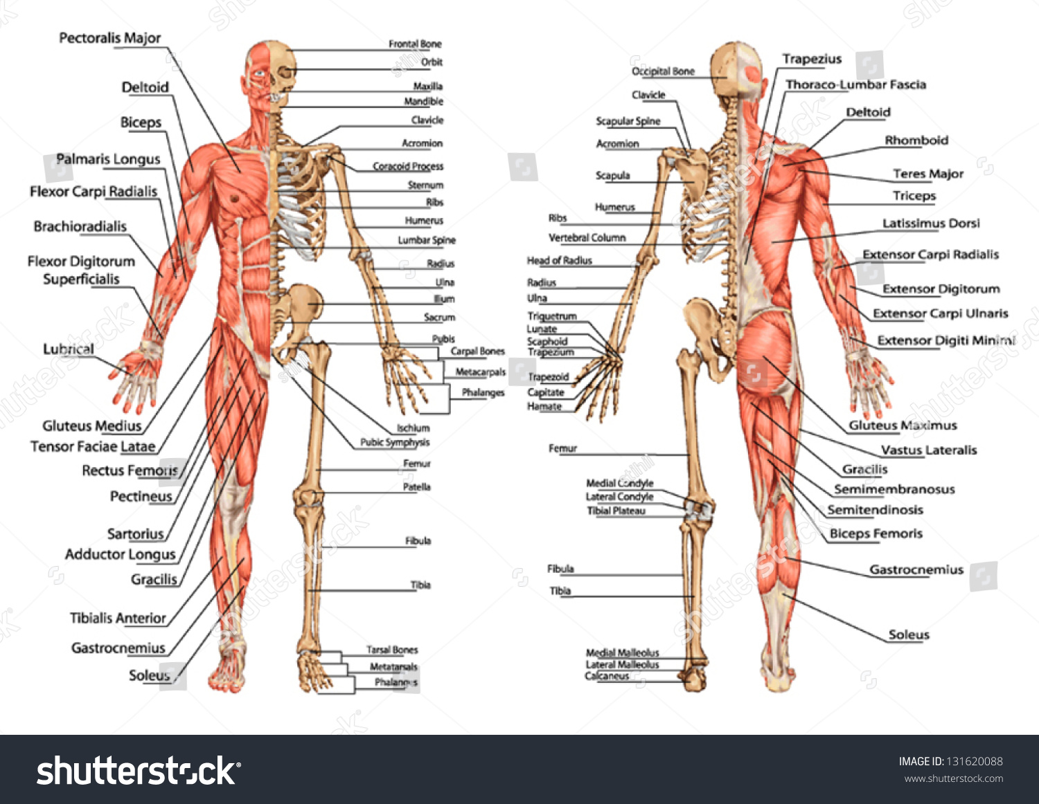 major muscle diagram to label lexus ls400 radio wiring human skeleton posterior anterior view didactic stock