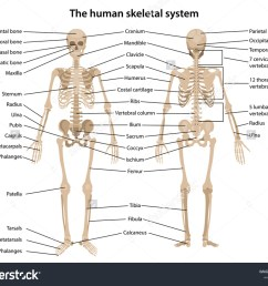 human skeleton in front and back with main parts labeled vector illustration [ 1500 x 1225 Pixel ]