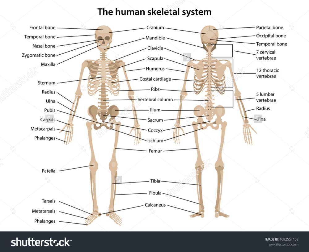 medium resolution of human skeleton in front and back with main parts labeled vector illustration