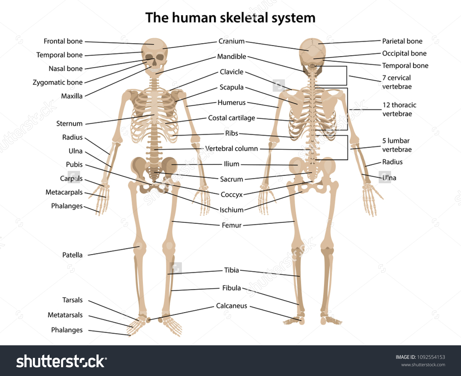 hight resolution of human skeleton in front and back with main parts labeled vector illustration