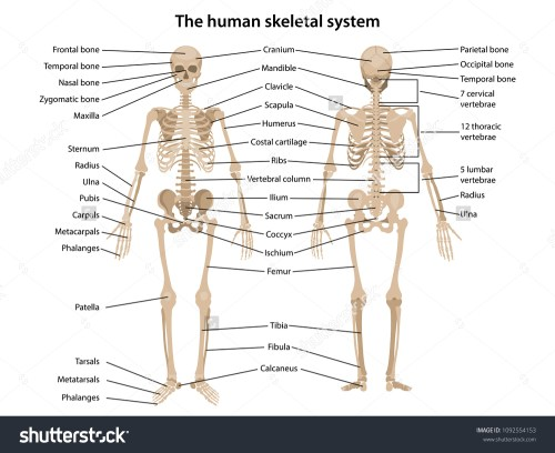 small resolution of human skeleton in front and back with main parts labeled vector illustration