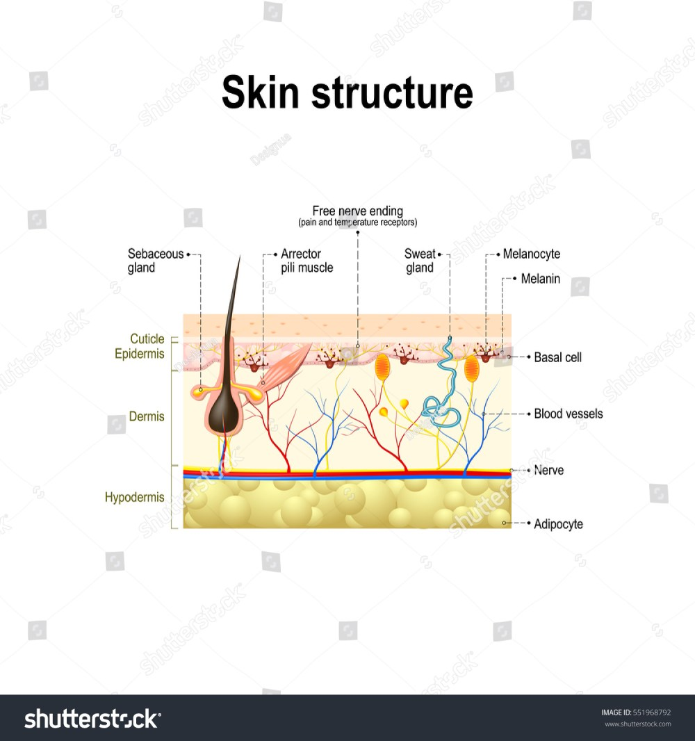 medium resolution of human skin and hair structure cross section of the human skin anatomy diagram