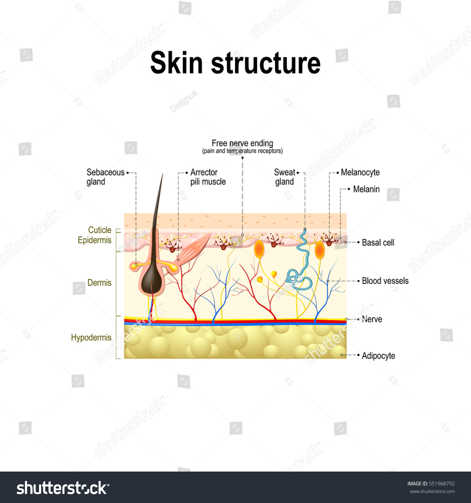 hight resolution of human skin and hair structure cross section of the human skin anatomy diagram