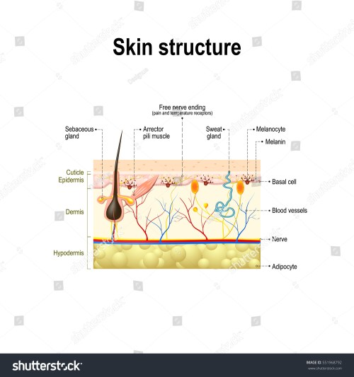 small resolution of human skin and hair structure cross section of the human skin anatomy diagram
