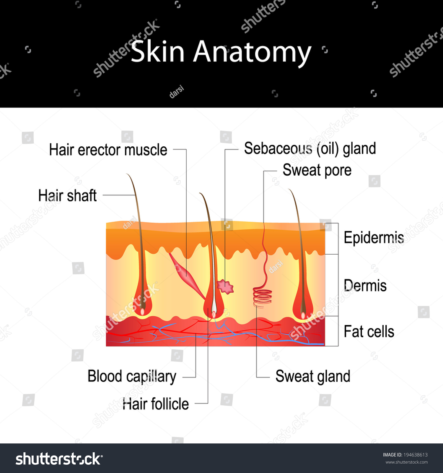 Human Skin Cross Section Hair Structure Diagram