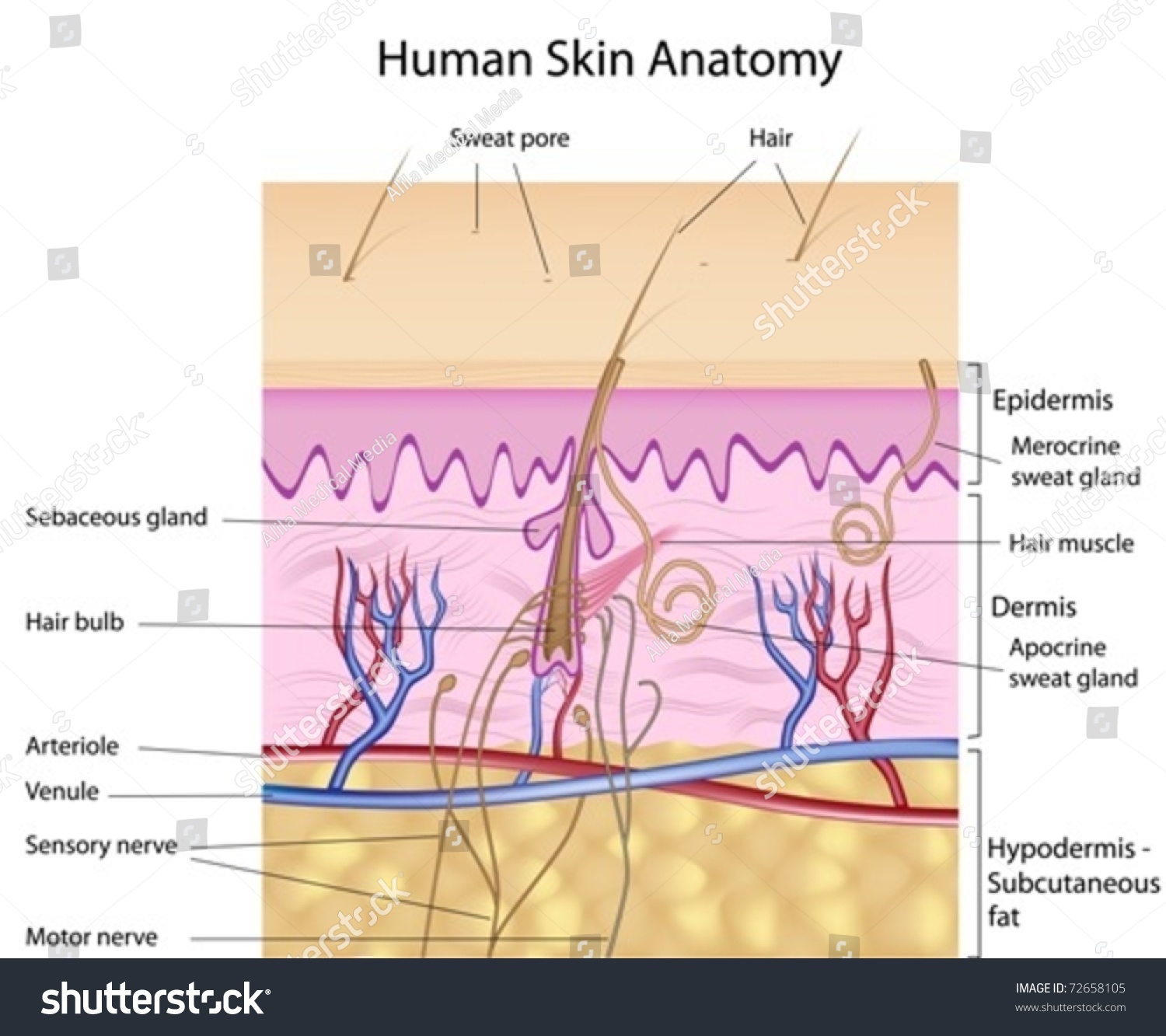 Human Skin Cross Section Labeled Stock Vector