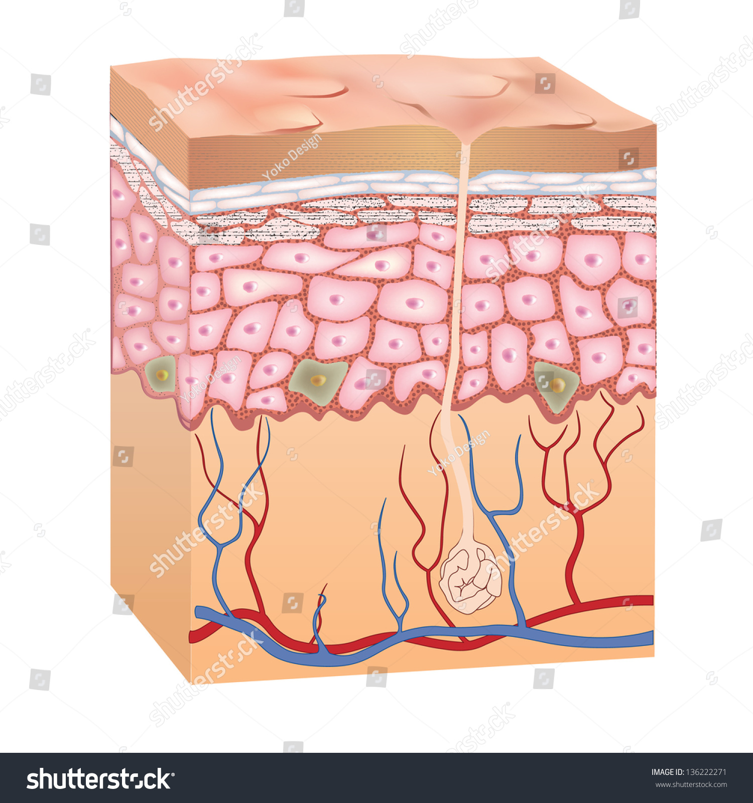 Human Skin Layer Model Worksheet