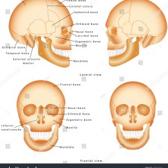 Lateral View Skull Sutures Diagram 400w Hps Wiring Human Structure Anatomy Labeling Medical