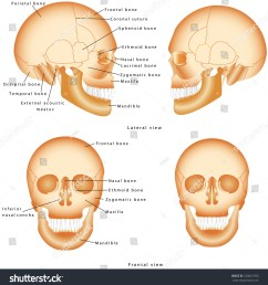 human skull structure skull anatomy labeling medical model of a human skull isolated against a white background lateral and frontal view of human skull [ 1481 x 1600 Pixel ]