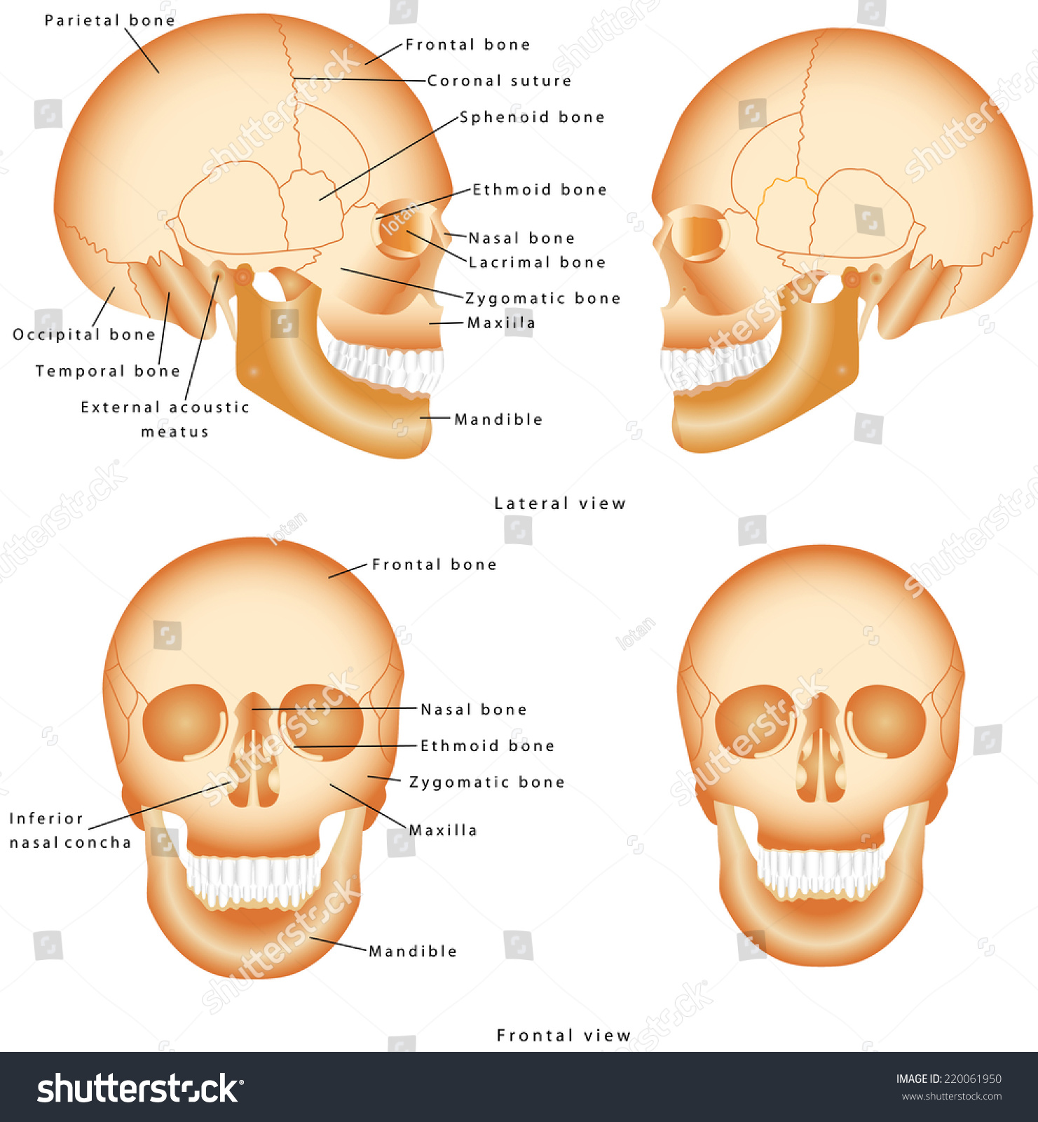 hight resolution of human skull structure skull anatomy labeling medical model of a human skull isolated against a white background lateral and frontal view of human skull