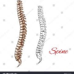 Human Spine Diagram Bones Vertebrae 2001 Chevrolet Malibu Radio Wiring Backbone Joints Vector Stock
