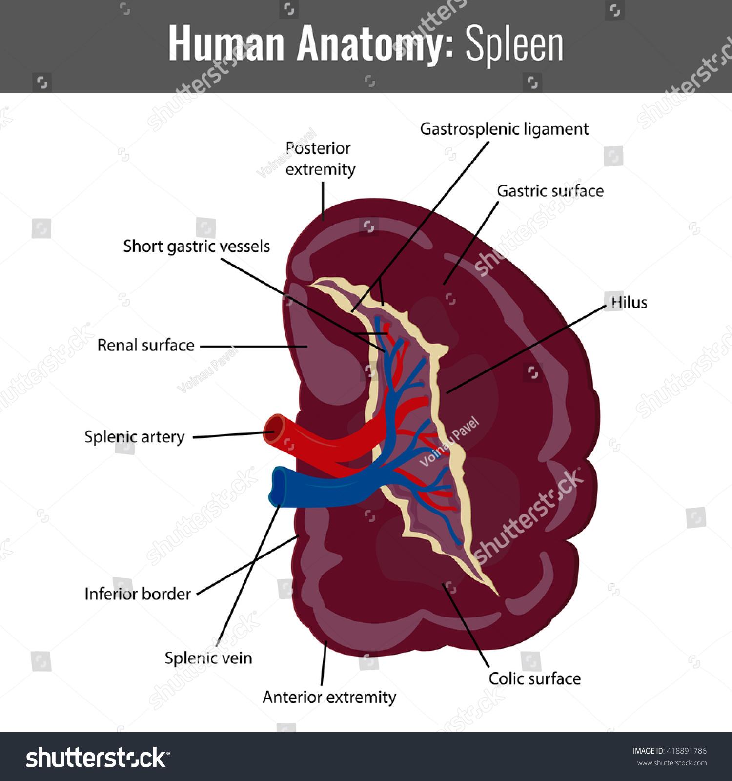 Human Spleen Detailed Anatomy Vector Medical Stock Vector
