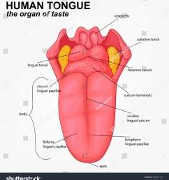 human tongue structure cartoon [ 1430 x 1600 Pixel ]