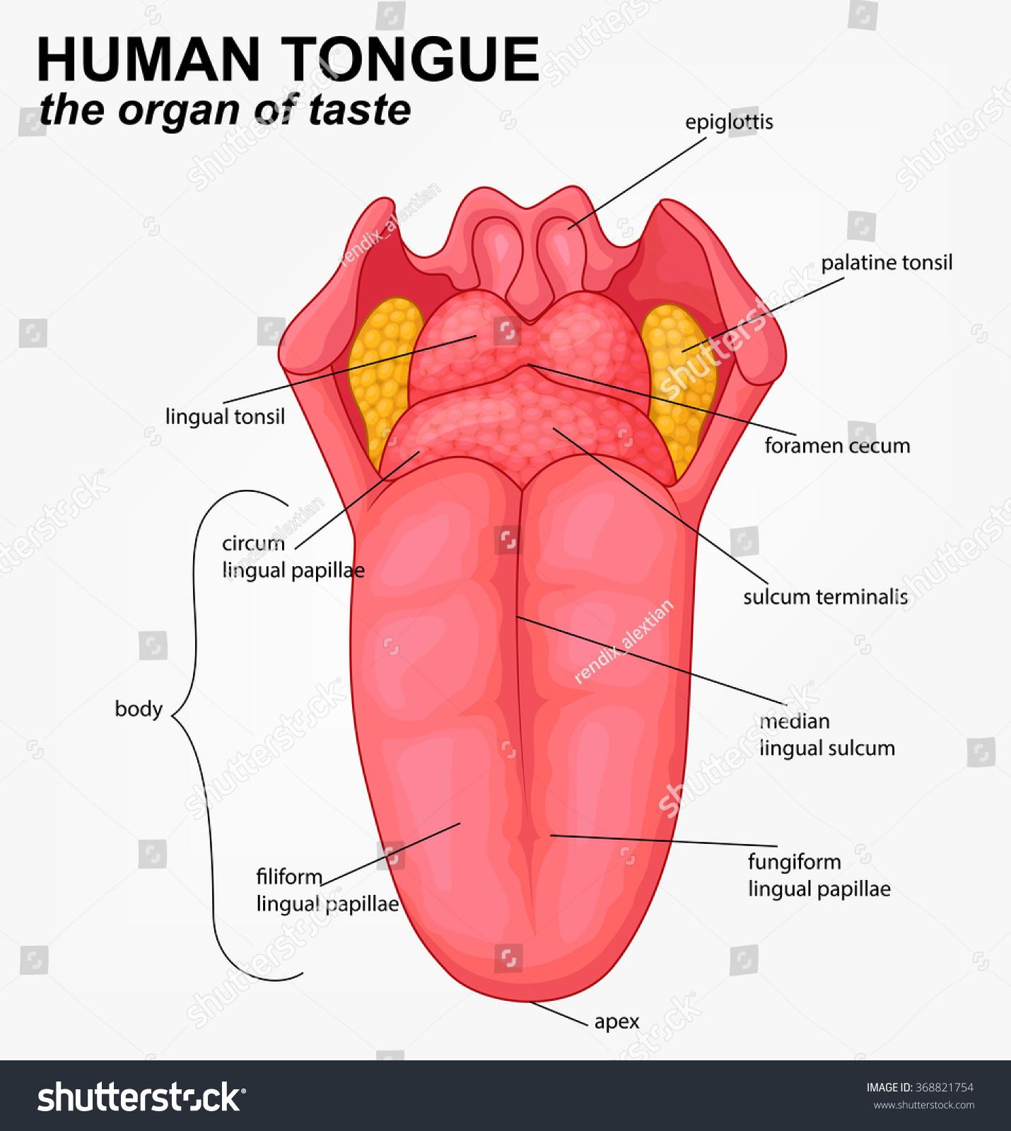hight resolution of human tongue structure cartoon