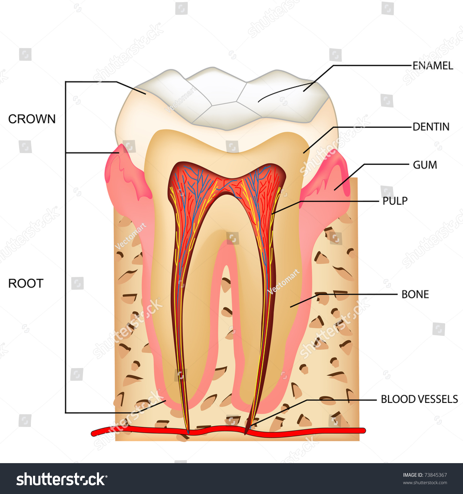 tooth diagram with label immersion heater wiring illustration of anatomy teeth labeling 73845367