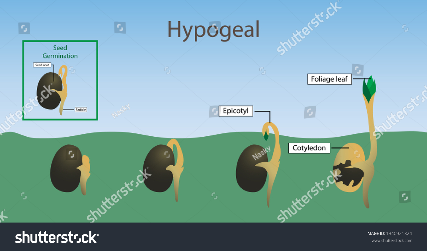 hight resolution of illustration of biology hypogeal germination diagram the germination of a plant takes place below