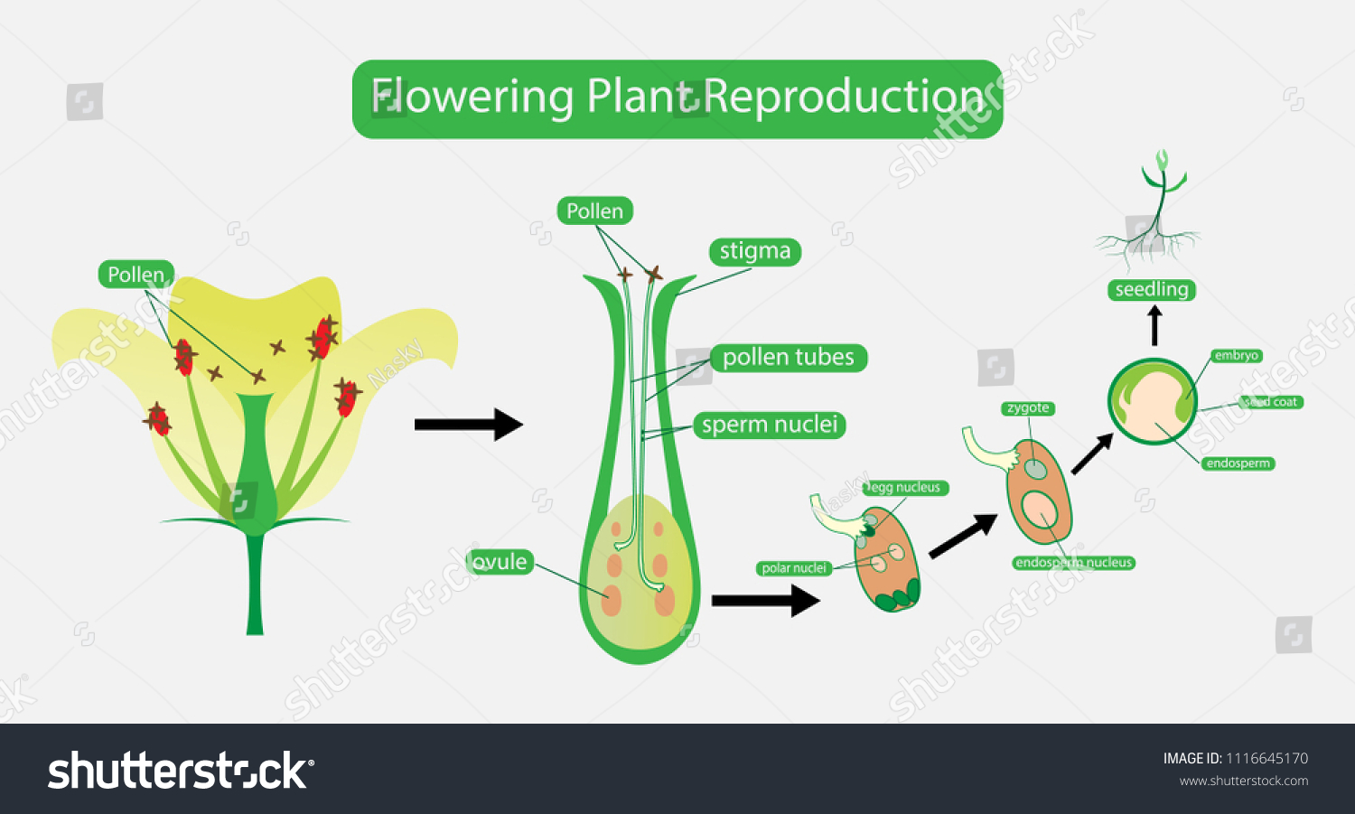 hight resolution of illustration of biology pollination in plant and flowering plant reproduction diagram