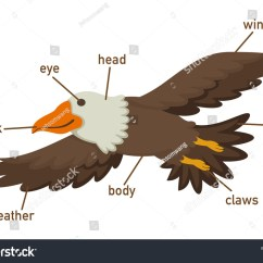 Eagle Wing Diagram Class For Restaurant System Illustration Eagles Vocabulary Part Body Vector Stock