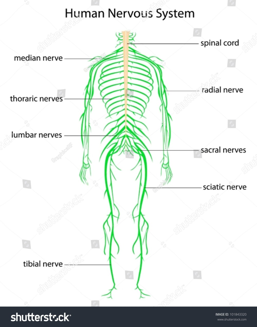 medium resolution of illustration of human nervous system with labels