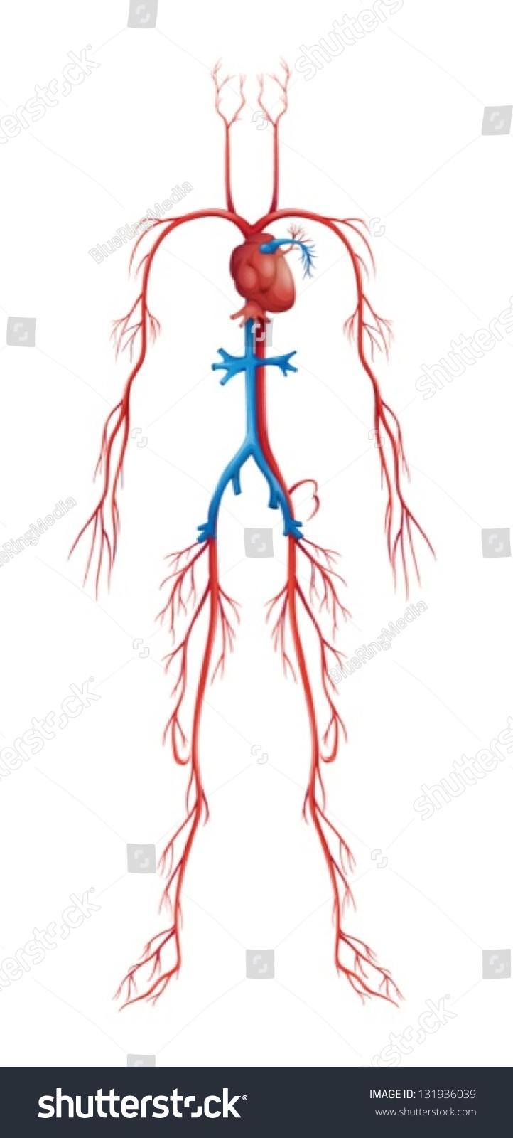 Illustration Isolated Human Circulatory System Stock Vector 131936039  Shutterstock