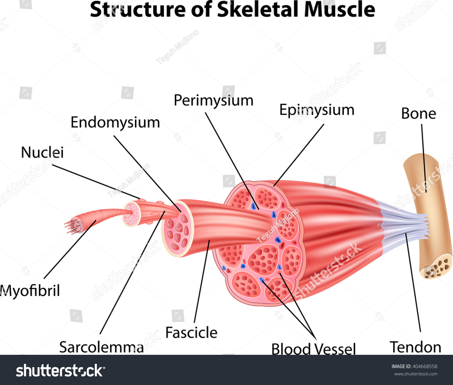 human muscle cell diagram 7 pin round trailer plug wiring illustration structure skeletal anatomy stock