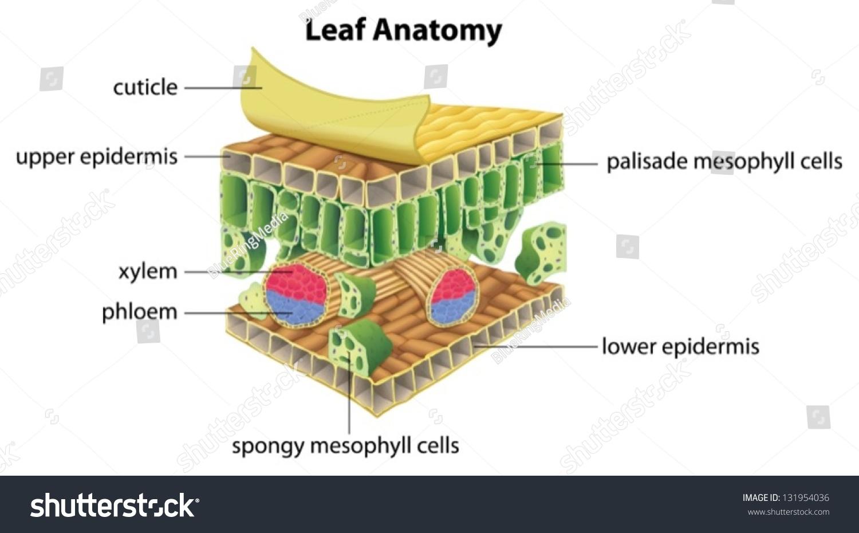 leaf epidermis diagram buddhism vs hinduism venn illustration anatomy stock vector 131954036