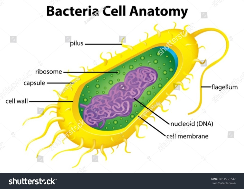 medium resolution of illustration of the bacteria cell structure