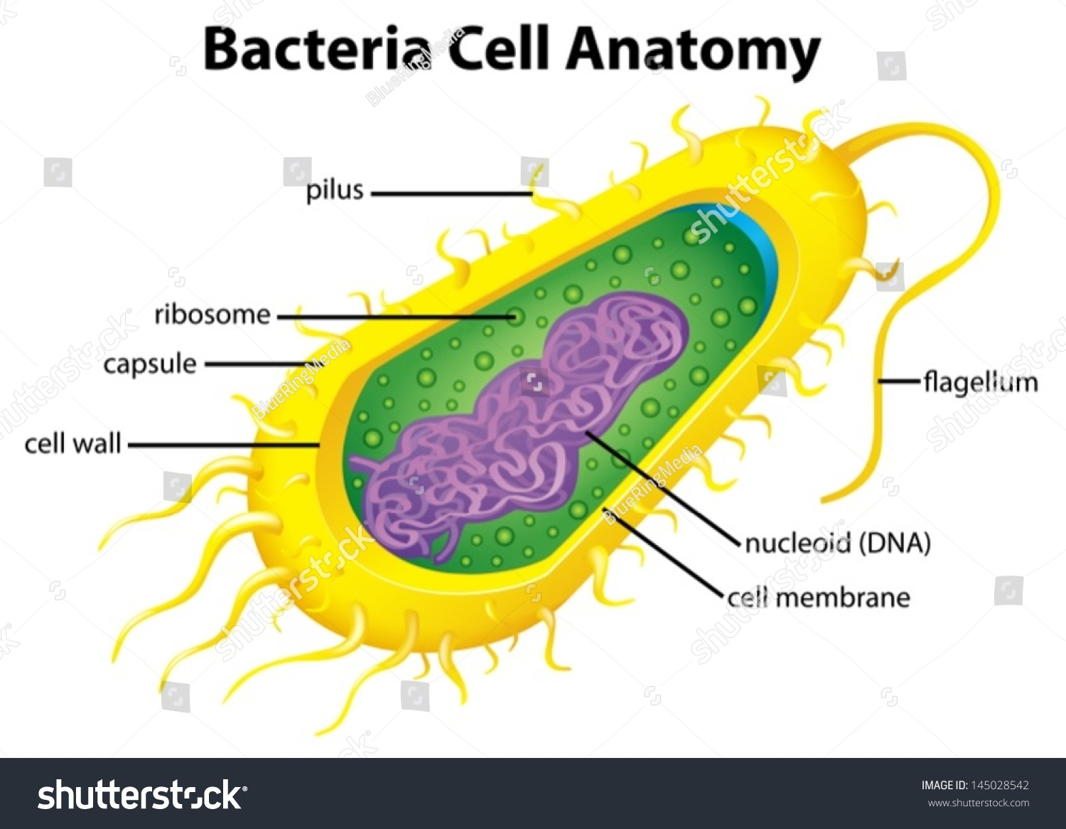 hight resolution of illustration of the bacteria cell structure
