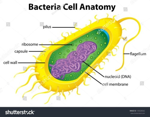 small resolution of illustration of the bacteria cell structure