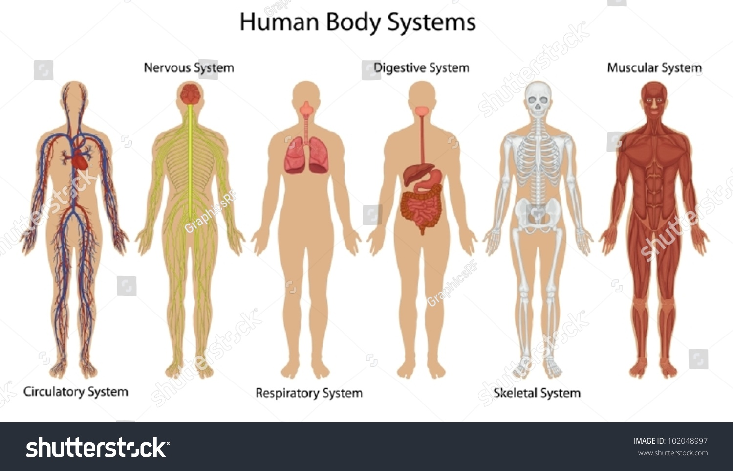 Illustration Human Body Systems Stock Vector