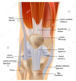 knee anatomy muscles and tendons muscle structure tendons at the front of the knee [ 1250 x 1600 Pixel ]