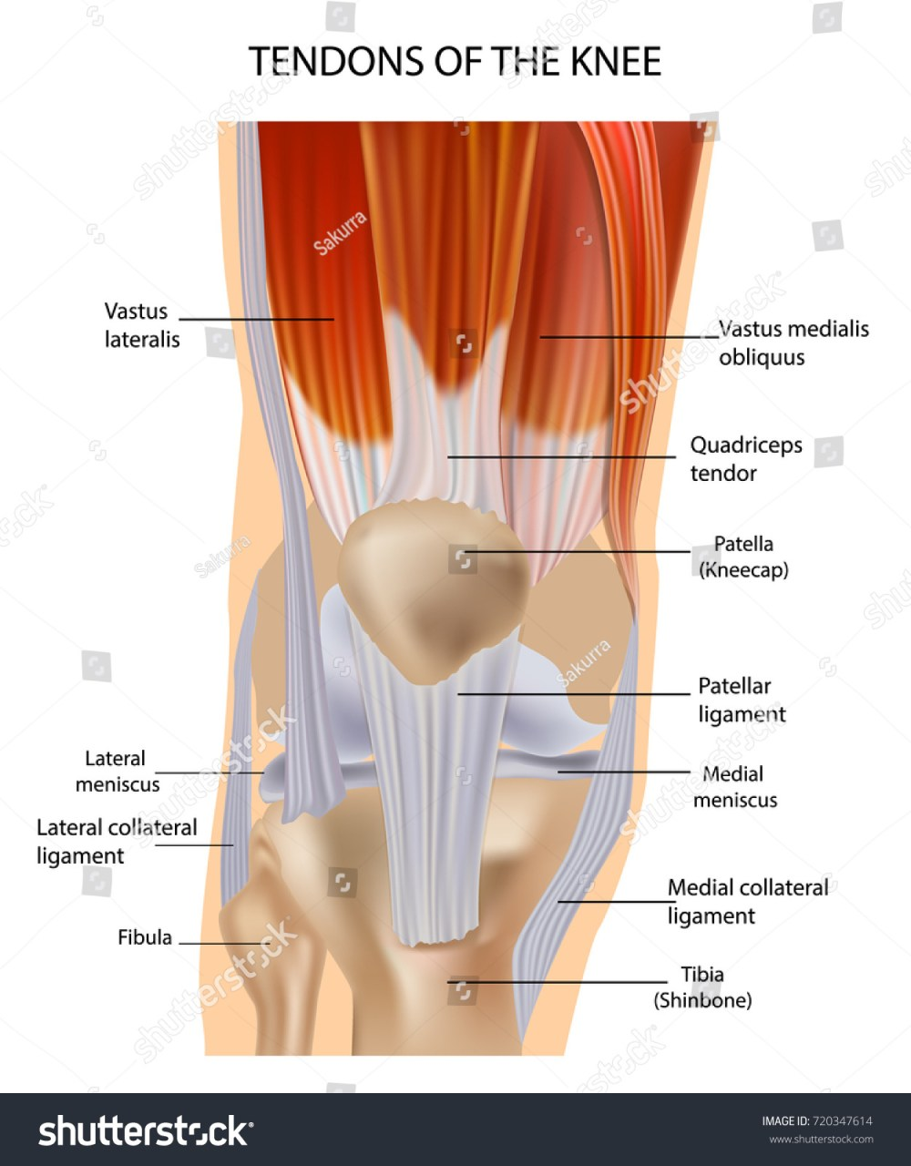 medium resolution of knee anatomy muscles and tendons muscle structure tendons at the front of the knee