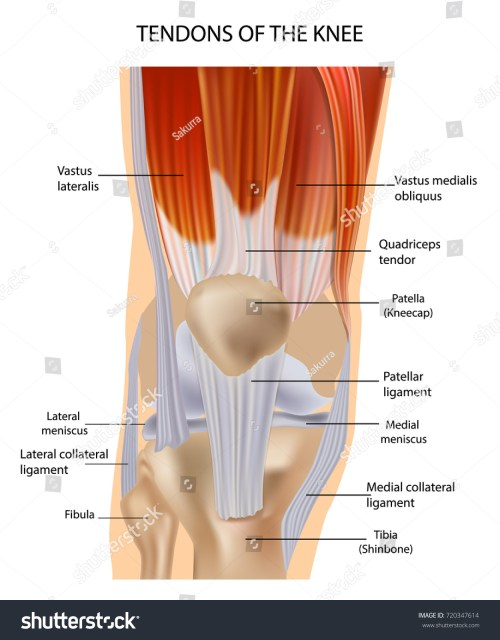 small resolution of knee anatomy muscles and tendons muscle structure tendons at the front of the knee