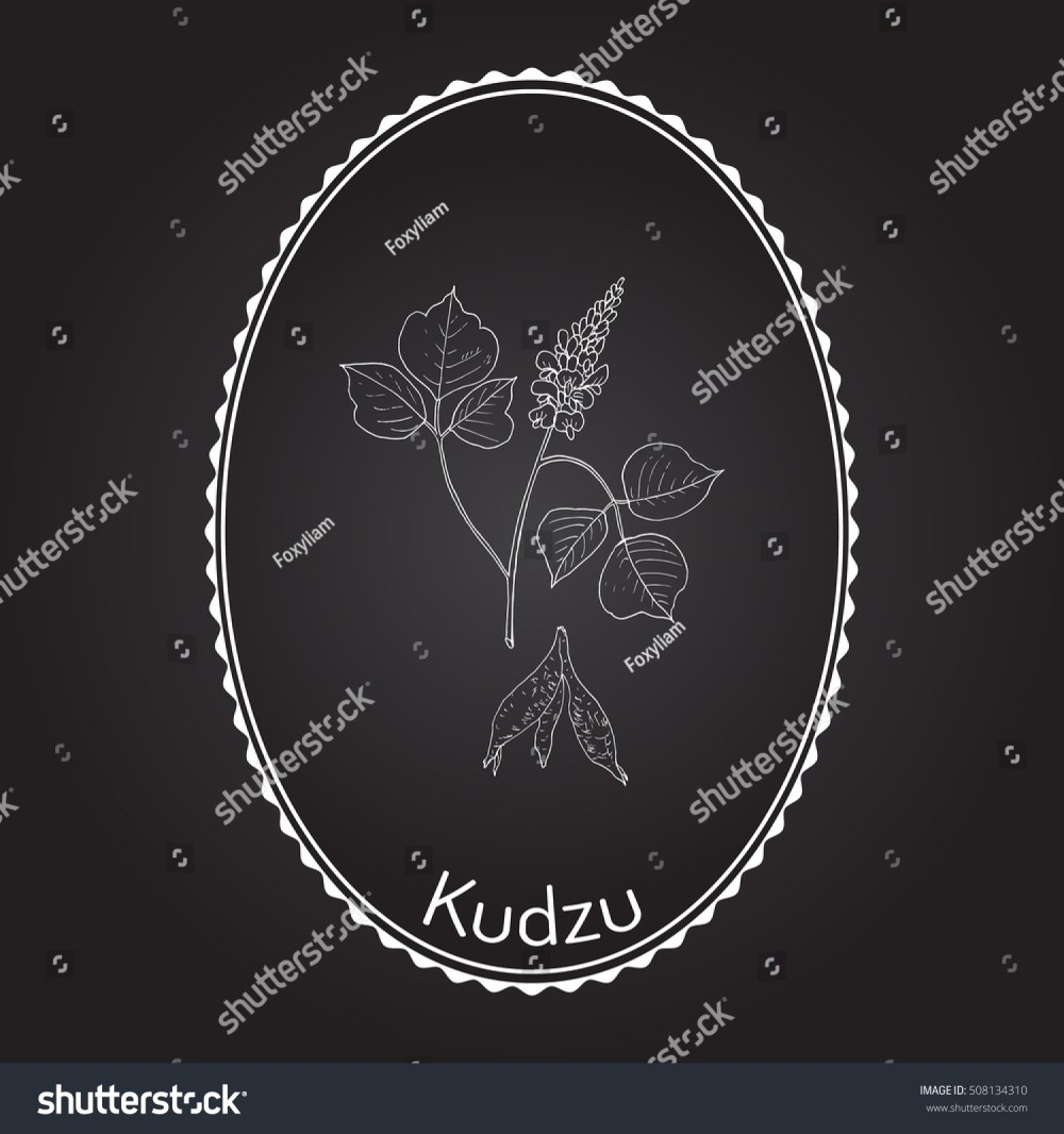 medium resolution of kudzu pueraria montana medicinal plant hand drawn botanical vector illustration
