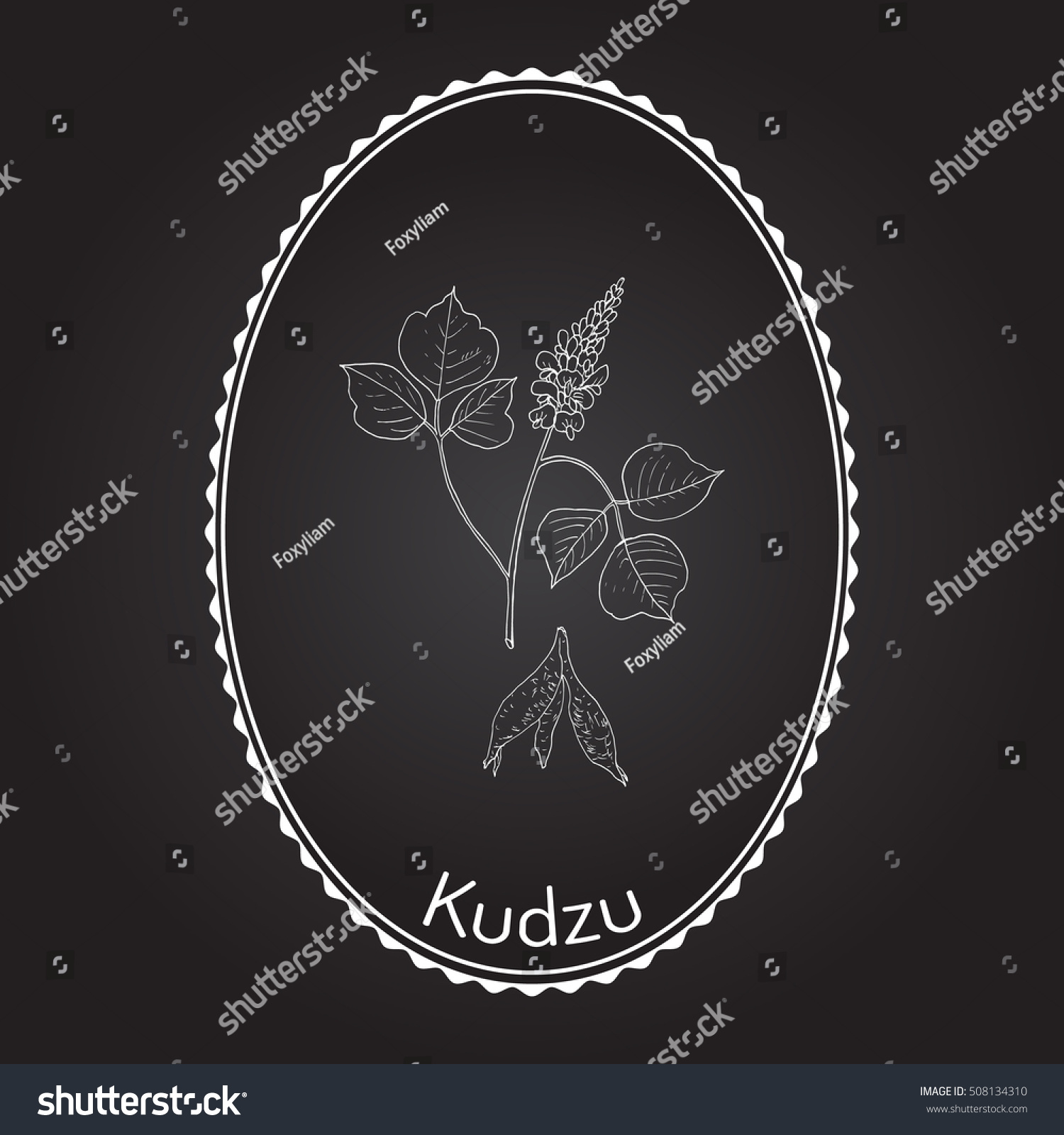 hight resolution of kudzu pueraria montana medicinal plant hand drawn botanical vector illustration