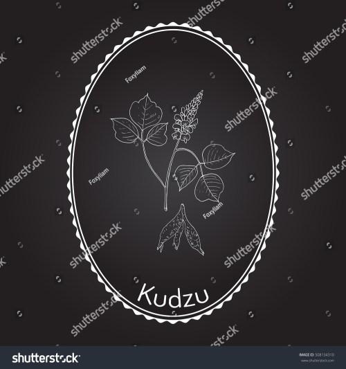 small resolution of kudzu pueraria montana medicinal plant hand drawn botanical vector illustration