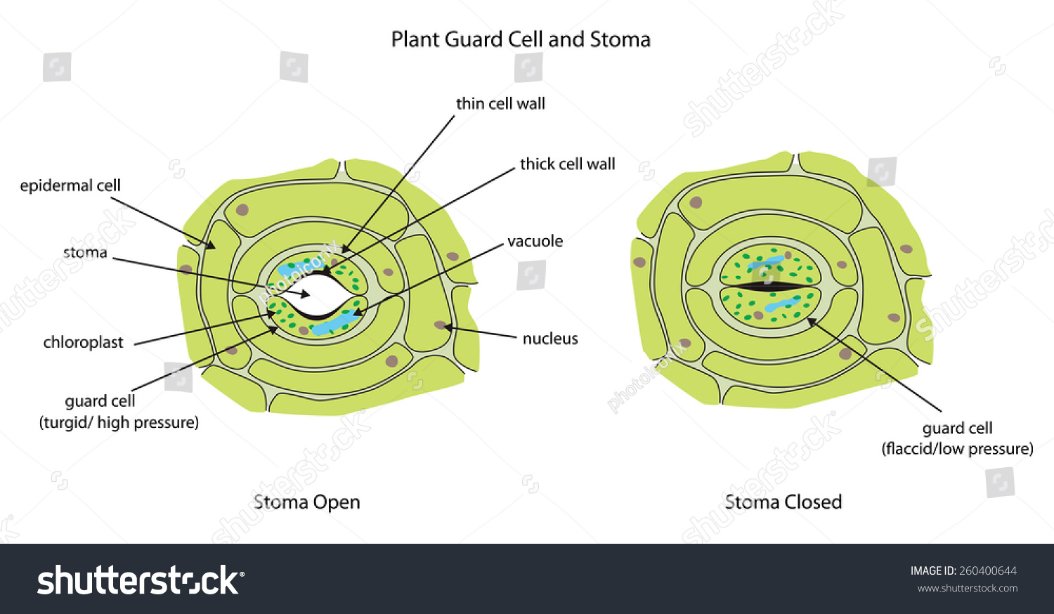Labeled Animal Cell Diagram Related Keywords Suggestions Labeled