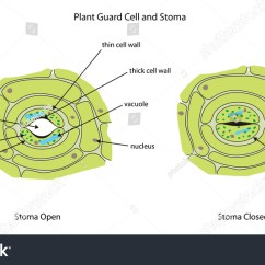 What Is Lvdt Explain It With Neat Diagram Gfs Wiring Stomata Labeled Gallery