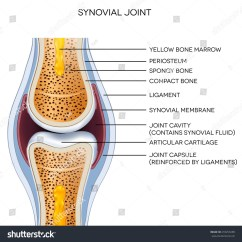 Movements Allowed By Synovial Joints Diagram Star Delta Starter Control Wiring With Timer Labeled Joint Anatomy Normal Illustration Stock