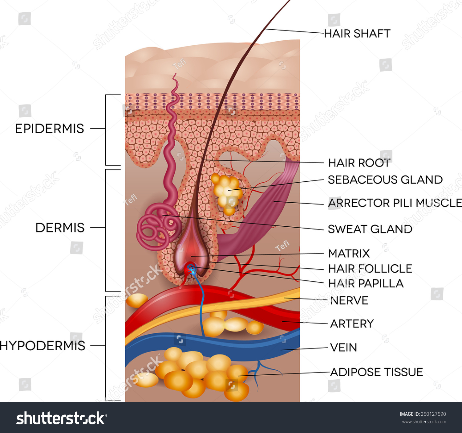 skin layers diagram labeled simple single line software free and hair anatomy detailed medical