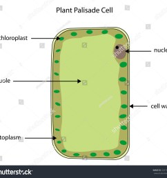 labelled diagram of a plant palisade cell where photosynthesis takes place  [ 1500 x 1404 Pixel ]