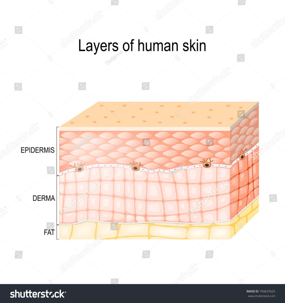 medium resolution of layers of skin epidermis horny layer and granular layer dermis connective