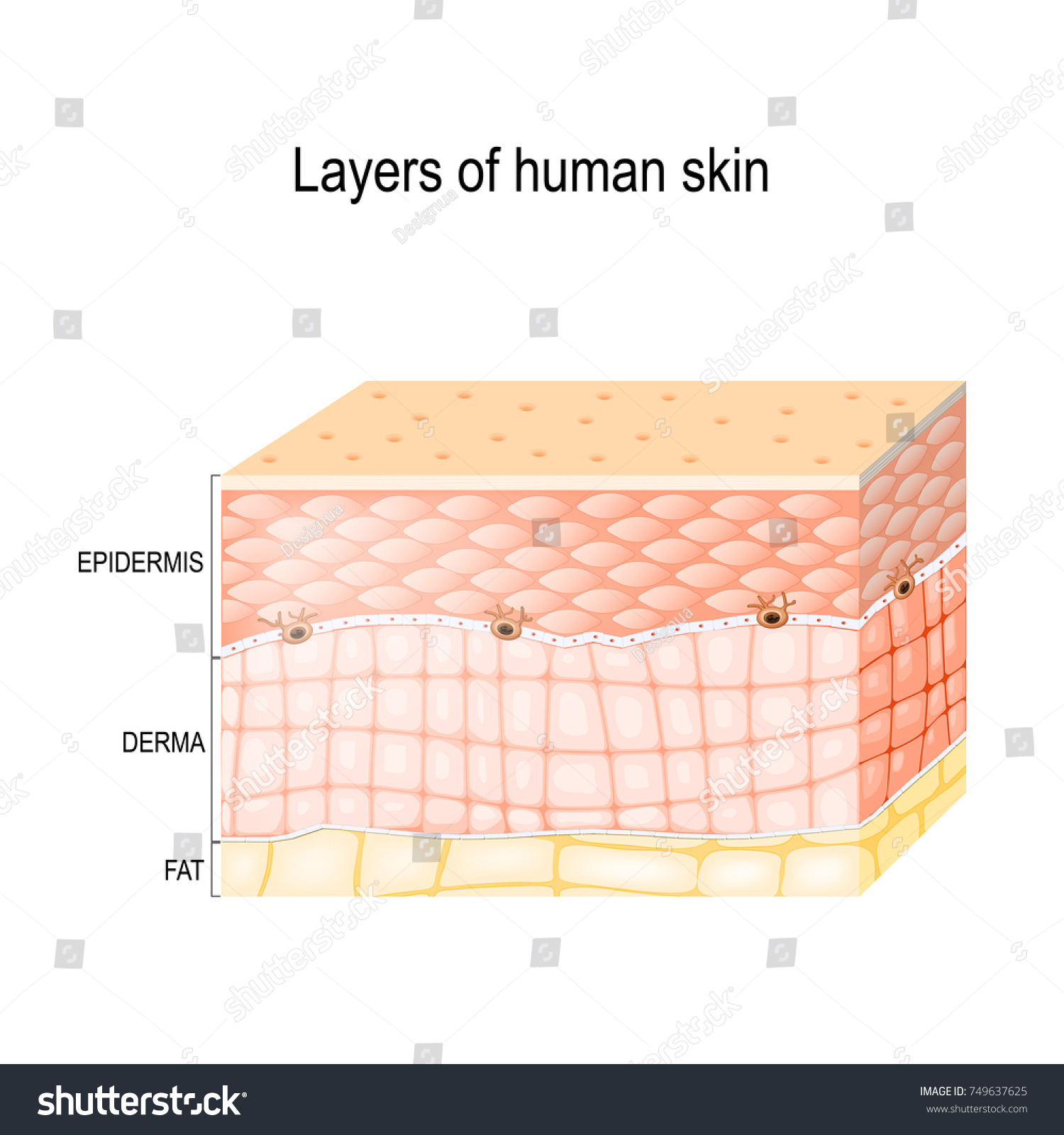 hight resolution of layers of skin epidermis horny layer and granular layer dermis connective
