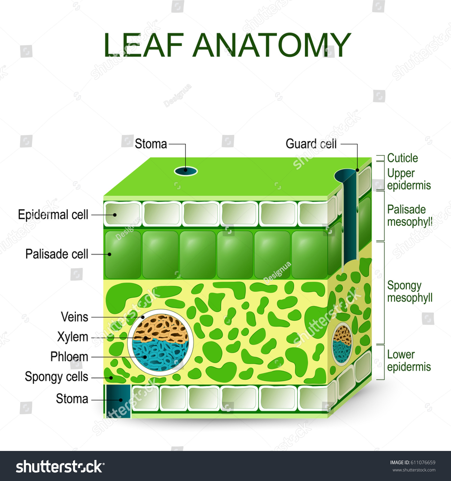 Leaf Anatomy Vector Diagram On White Stock Vector