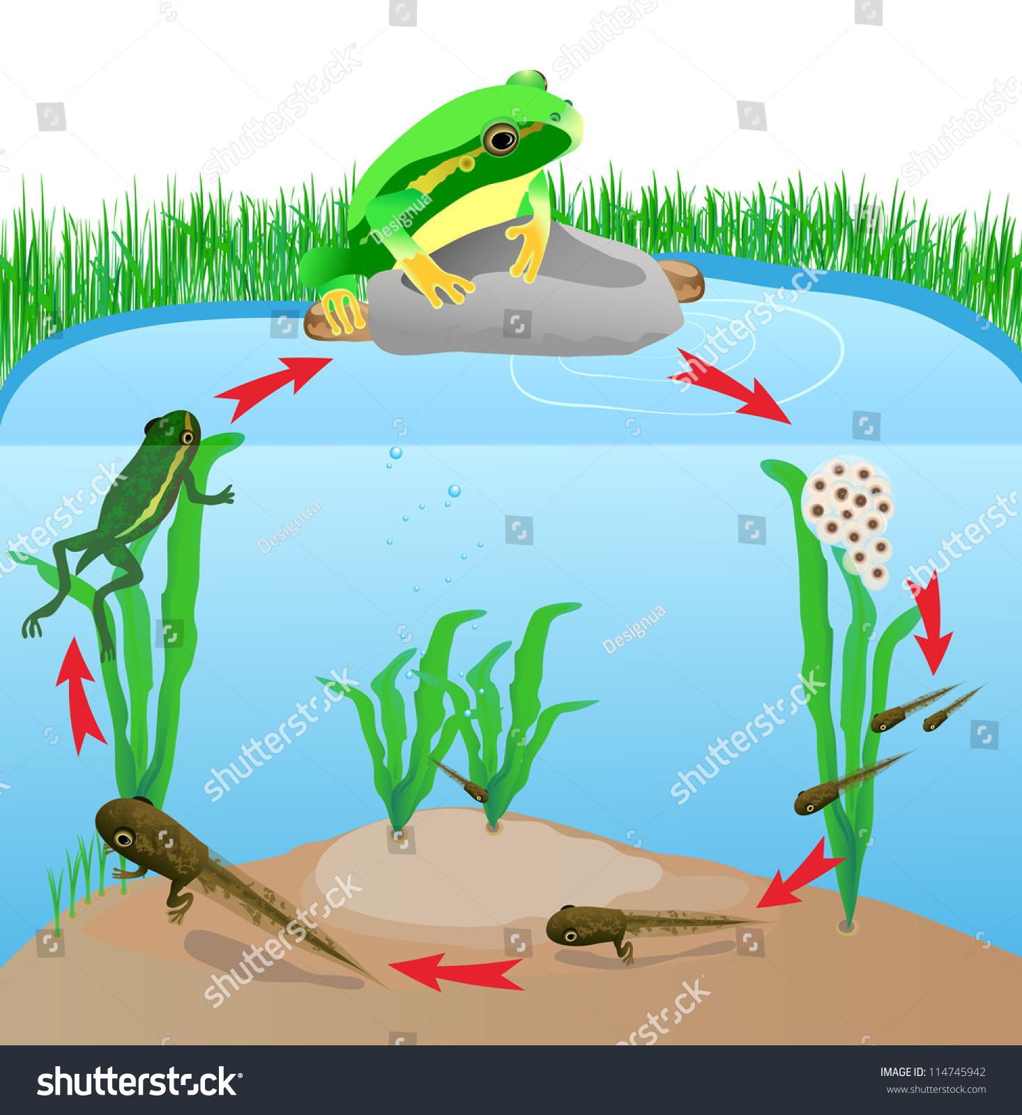 Life Cycle European Tree Frog Metamorphose Stock Vector