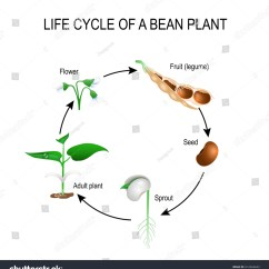 Life Cycle Of A Labeled Moss Diagram Kubota Tractor Wiring Bean Plant Stages Growing Stock Vector