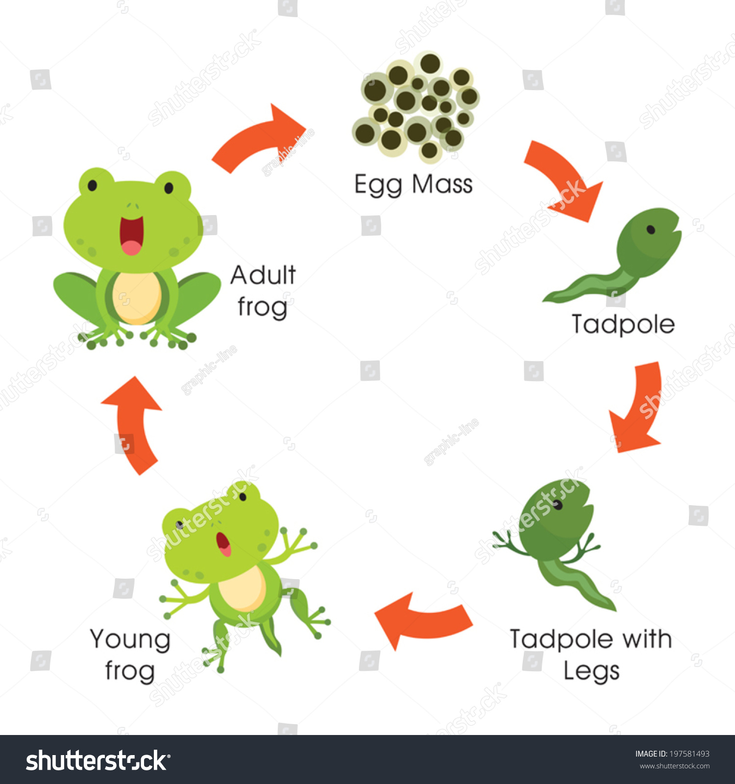 Life Cycle Of A Frog Vector Illustration