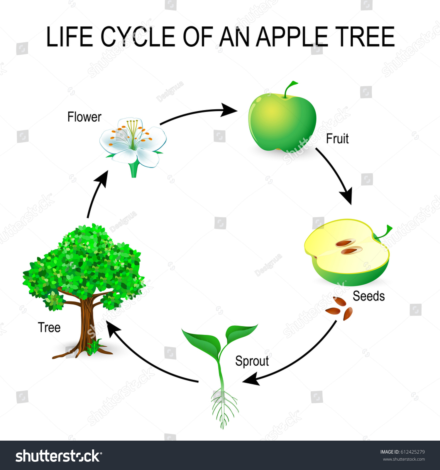 Life Cycle Apple Tree Flower Seeds Stock Vector